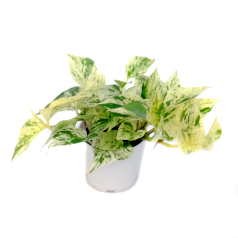 Pothos Snow Queen Olive Hill Greenhouses