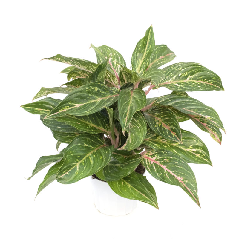 6 Aglaonema Butterfly