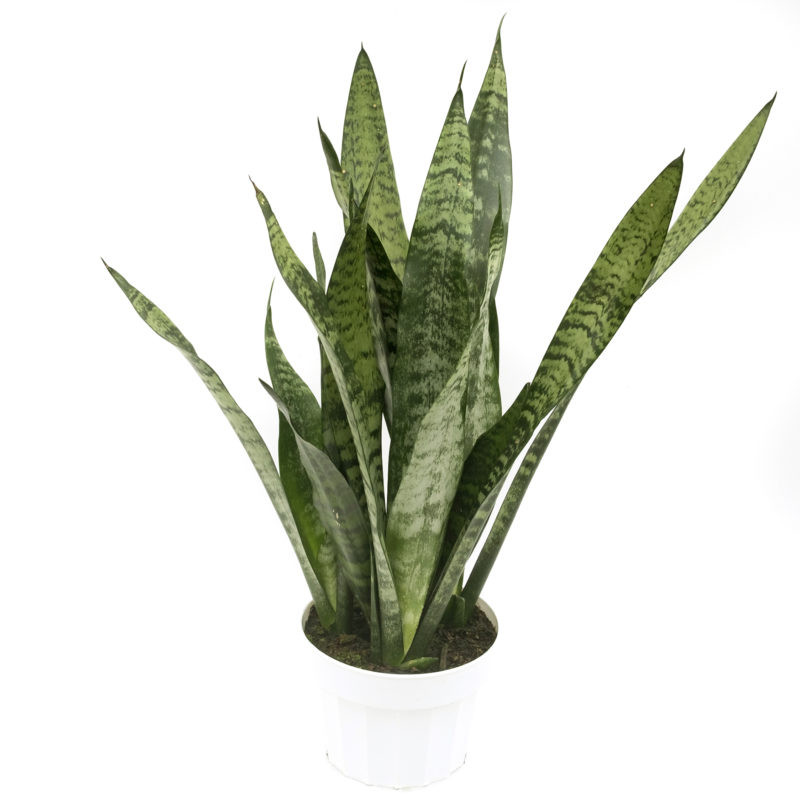 Sansevieria Black Coral Olive Hill Greenhouses
