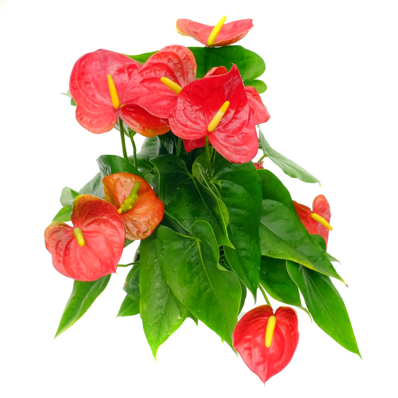 how to grow anthurium plants